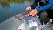 Putting a zebra plate in a ziploc bag