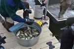 Fish in a bucket waiting to be measured