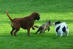 Three dogs running on grass