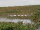 Swans at Six Mile Marsh Prairie
