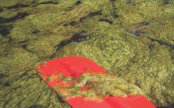 Canoe paddle with algae